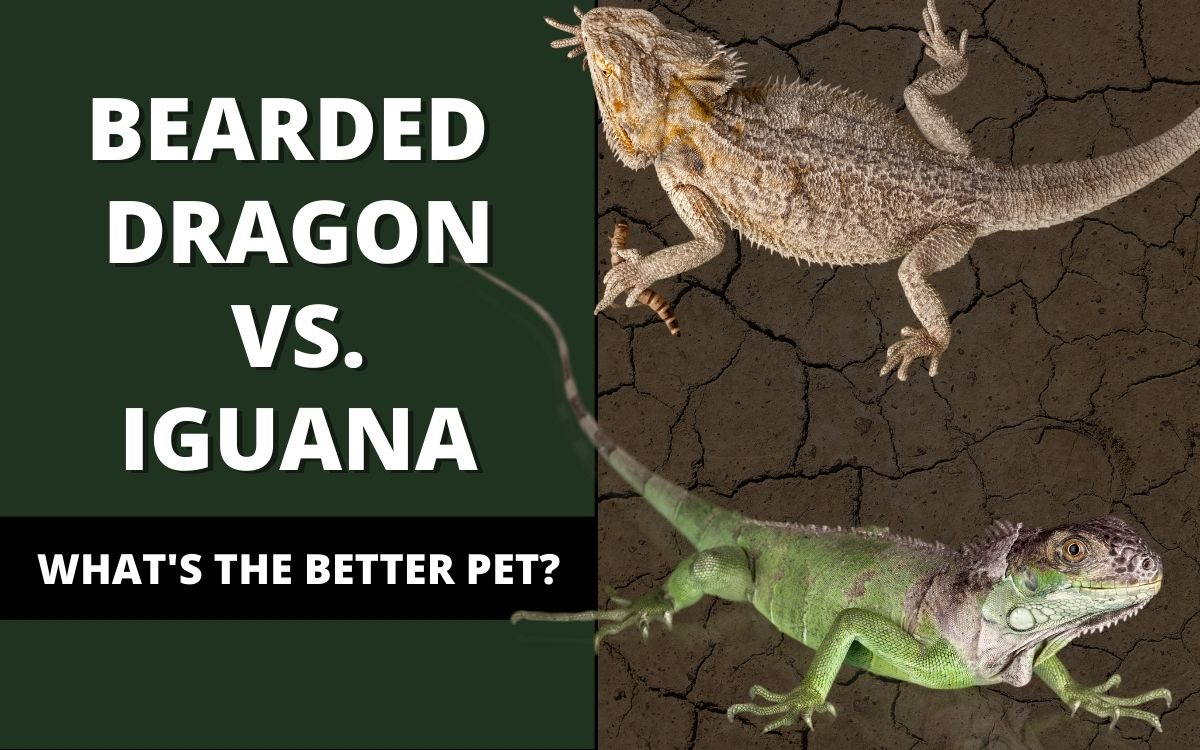 bearded dragon vs iguana banner