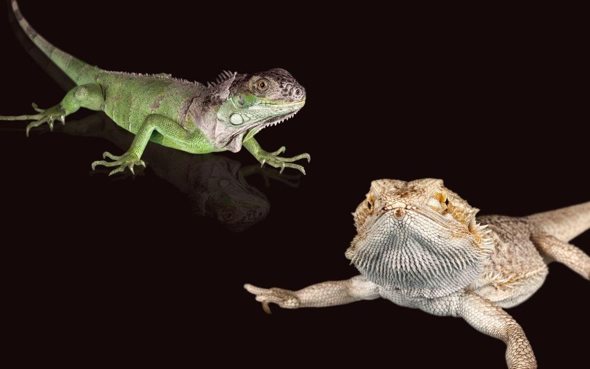bearded-dragon-vs-iguana