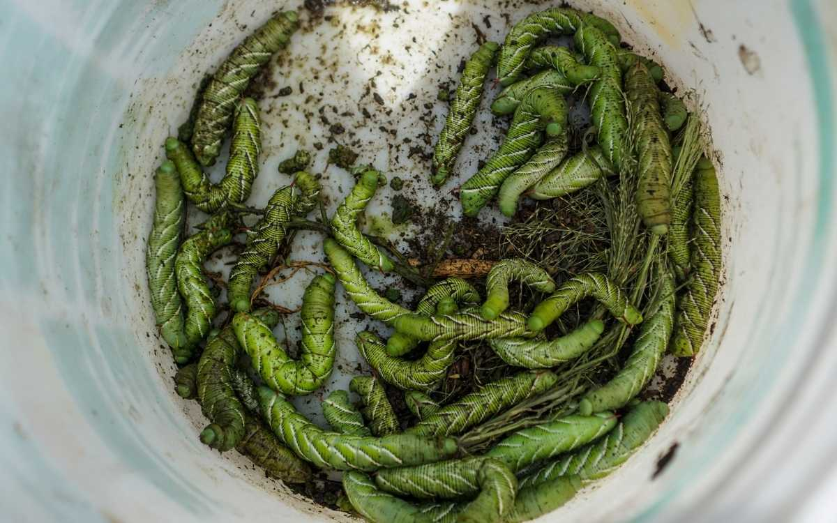 bowl-of-tomato-worms