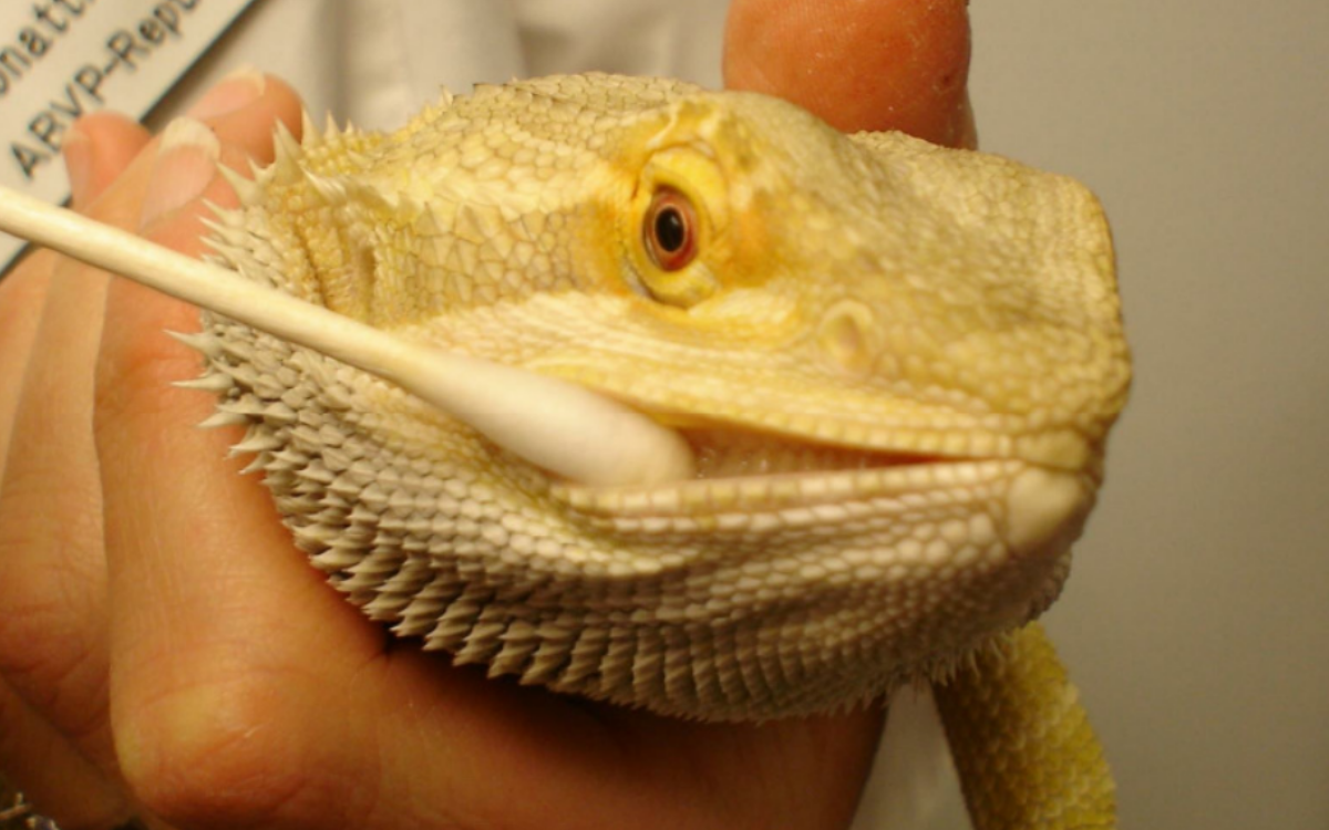 applying-betadine-to-bearded-dragons-mouth