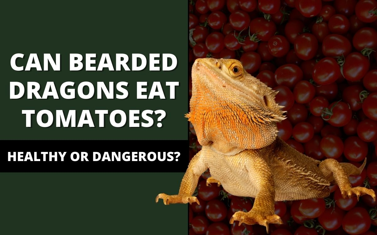 can-bearded-dragons-eat-tomatoes-banner
