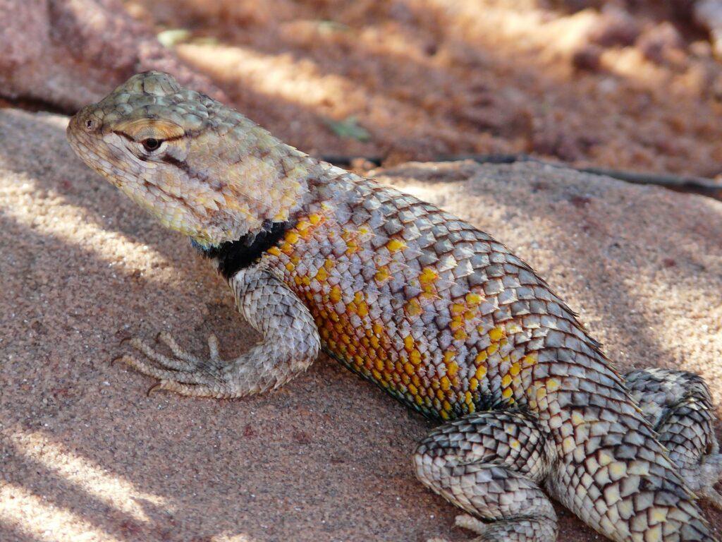 desert-iguana