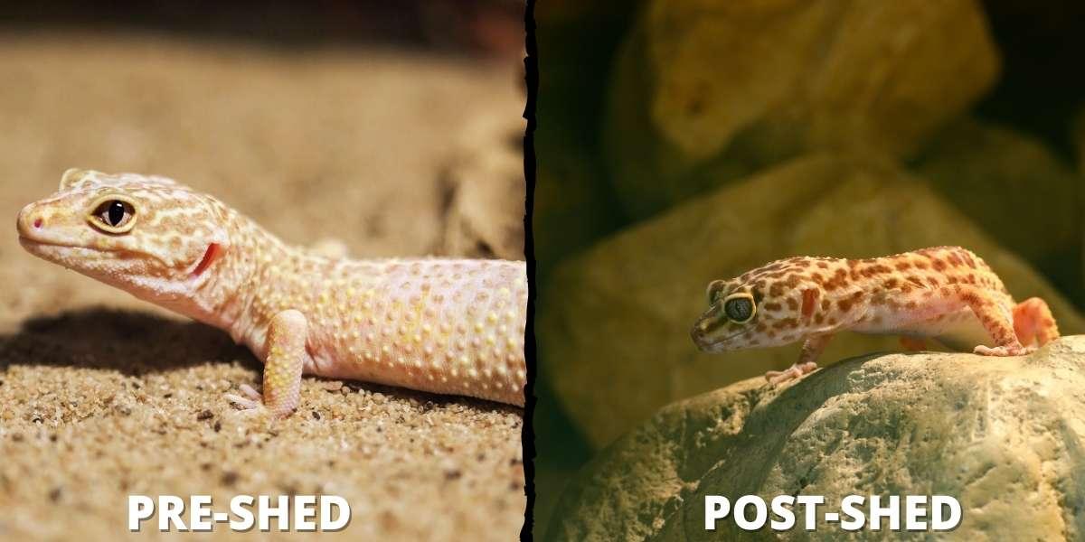 leopard-gecko-before-shed-vs-after-shed