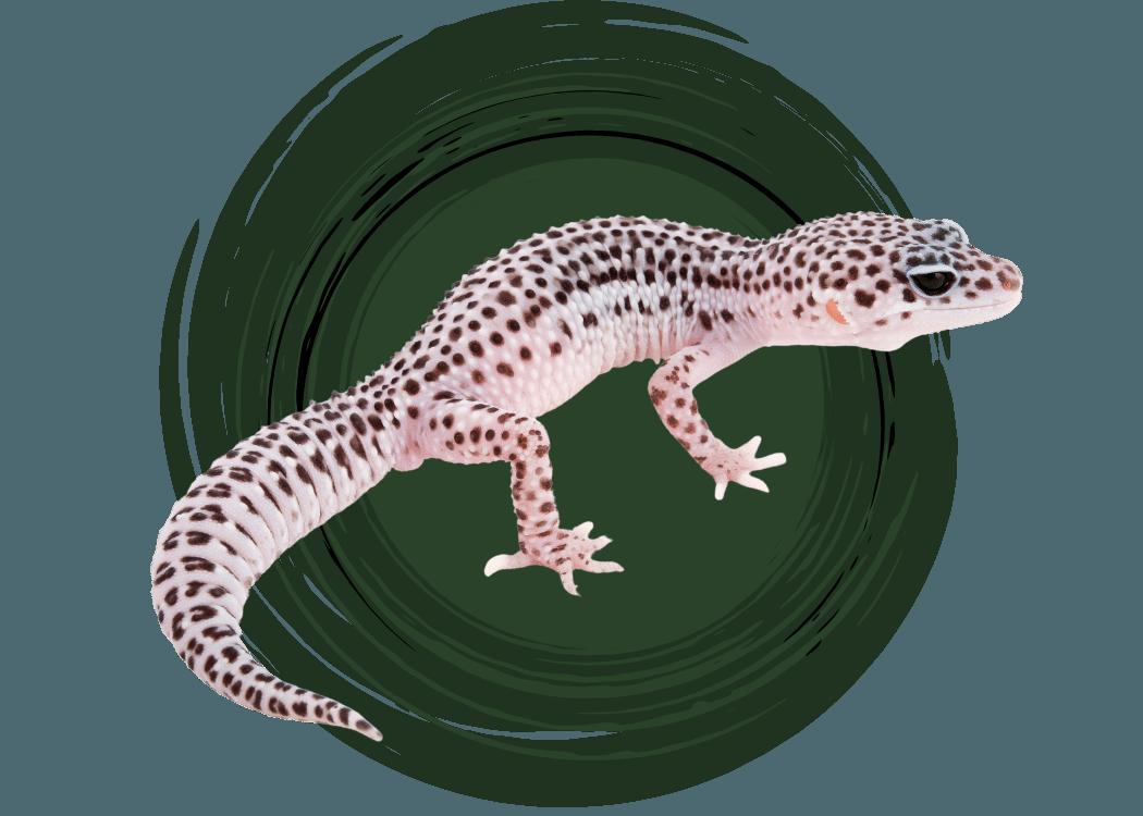leopard-gecko-care-guide