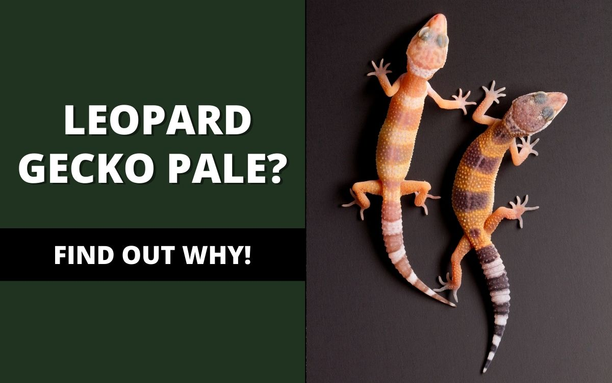 why-is-my-leopard-gecko-pale-banner