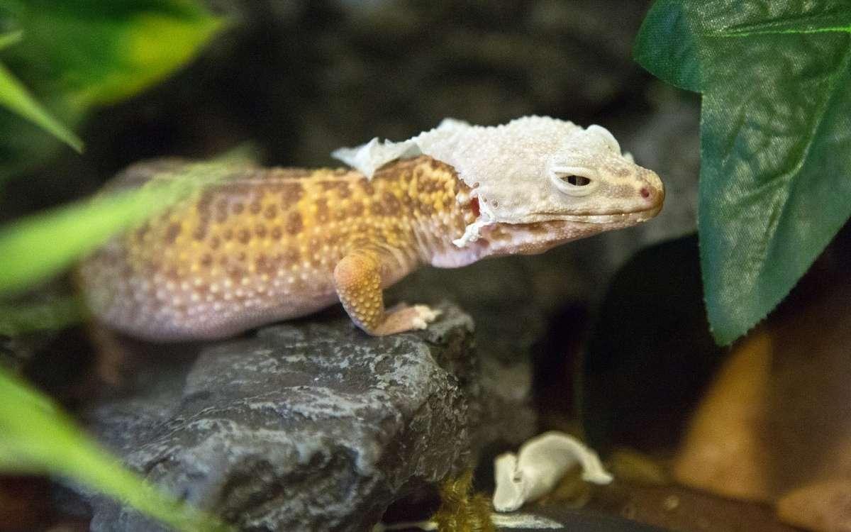 leopard-gecko-shed-stuck-on-head