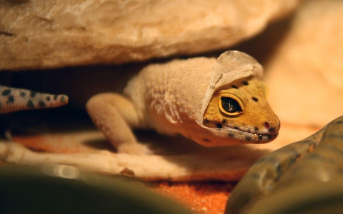 shedding-leopard-gecko