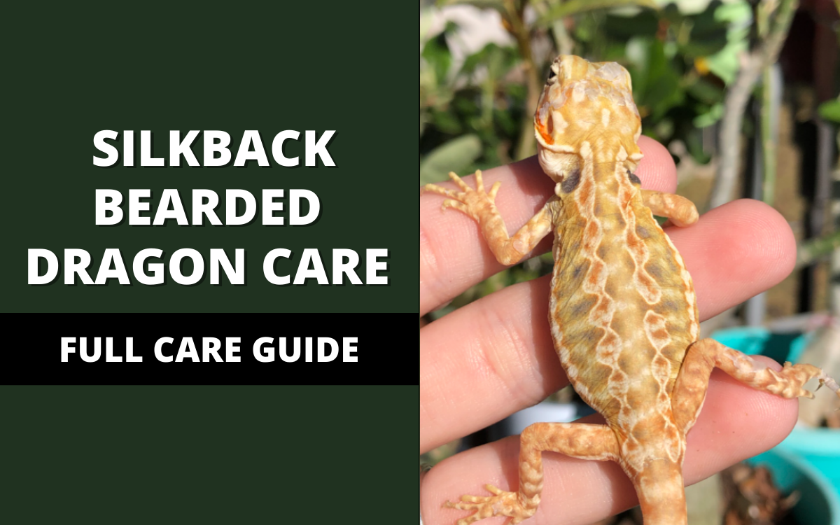 silkback-bearded-dragon-care-banner
