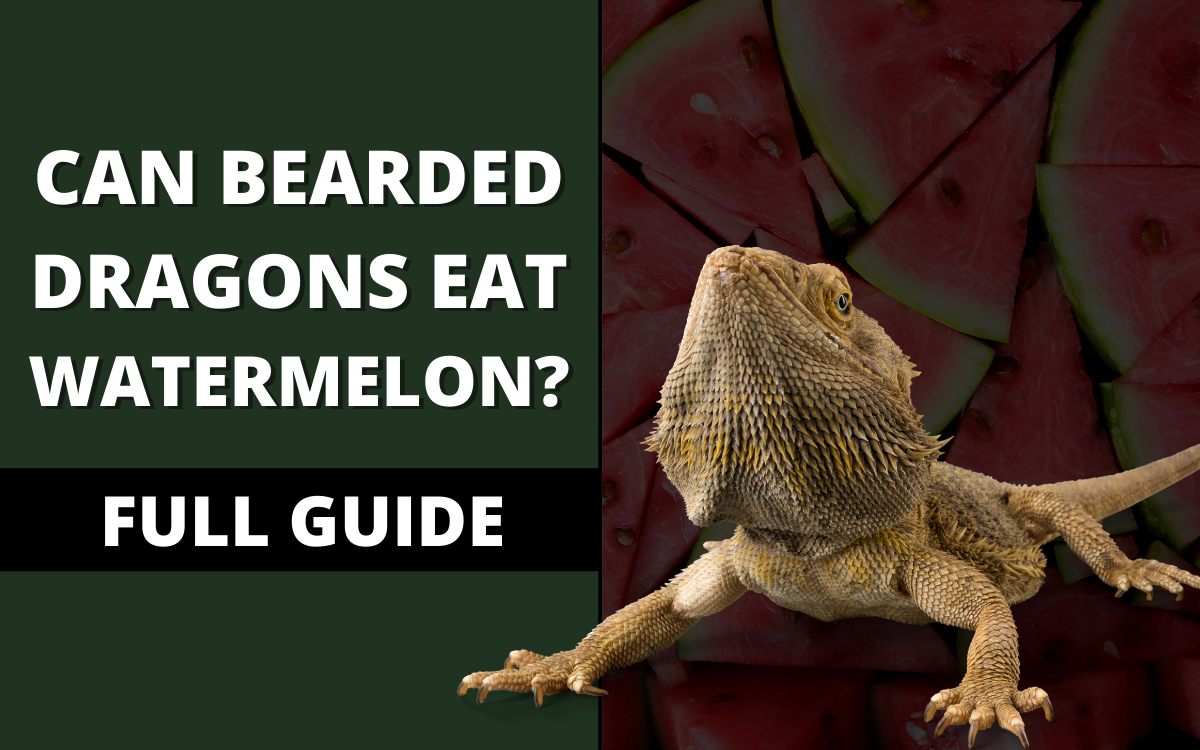 can-bearded-dragons-eat-watermelon-banner