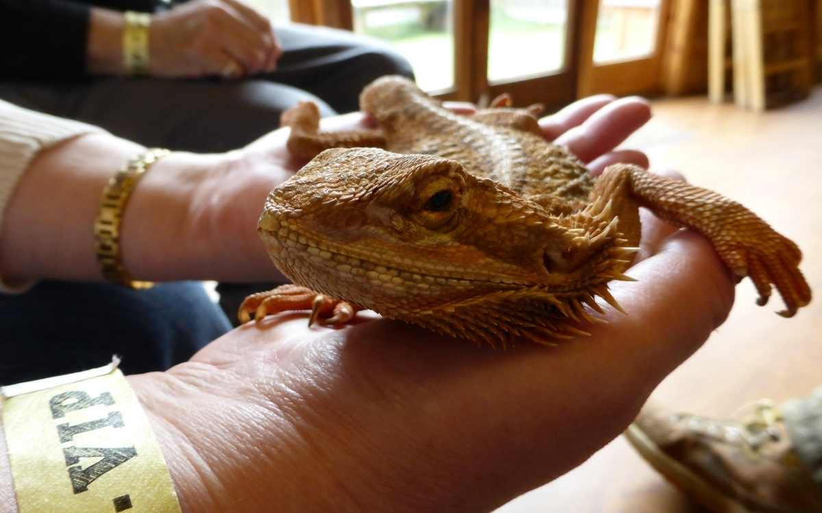 bearded-dragon-brumating-and-being-held