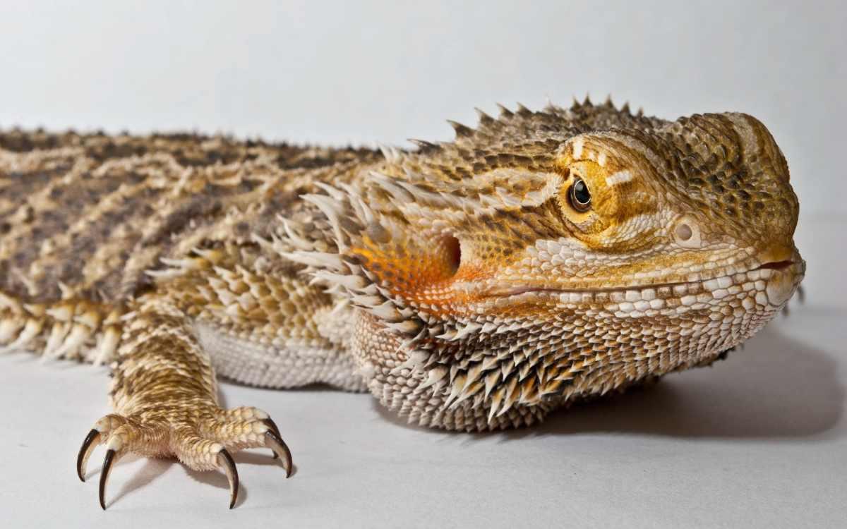 bearded-dragon-brumation
