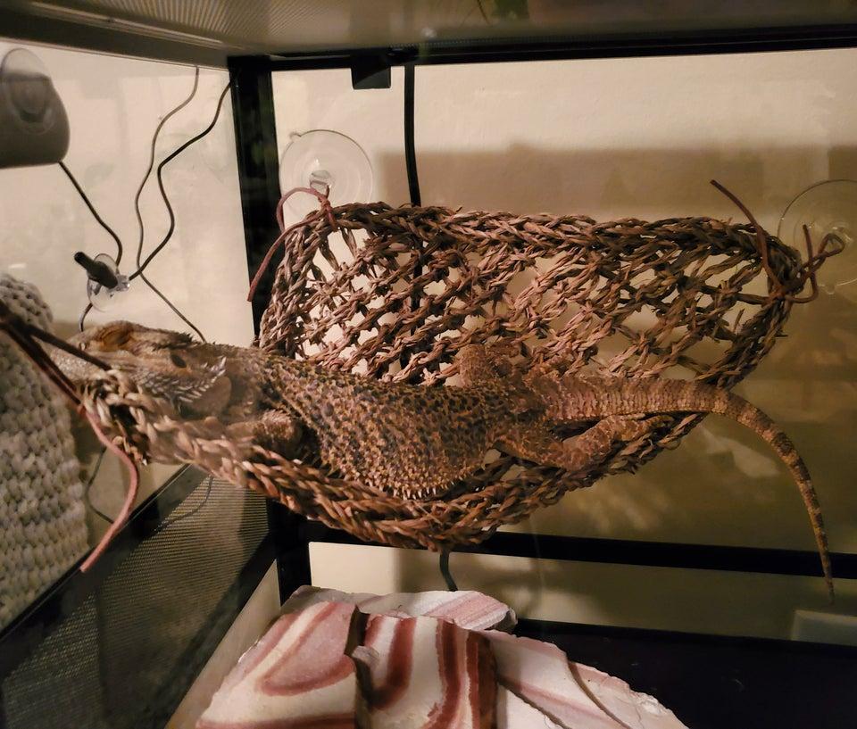 bearded-dragon-hanging-in-hammock