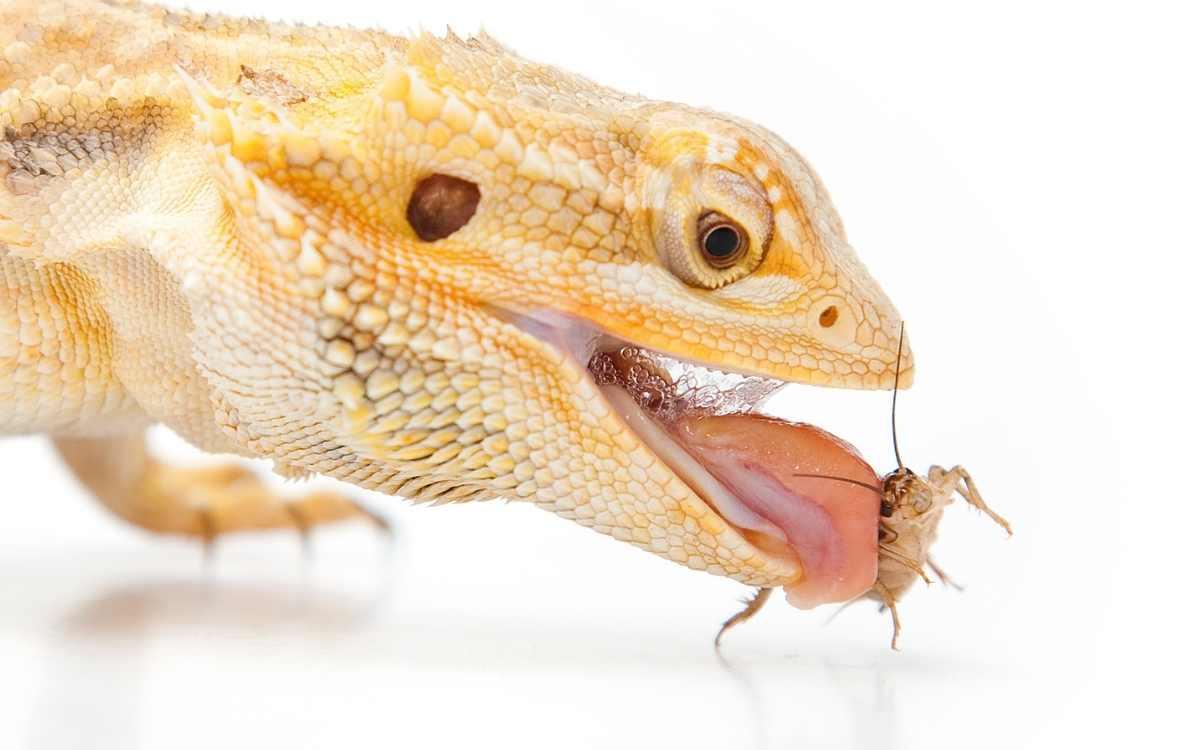 bearded_dragon_catching_cricket
