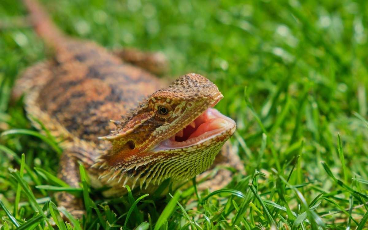 bearded_dragon_white_tongue