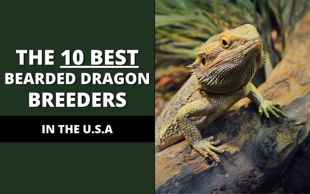 best-bearded-dragon-breeder-banner
