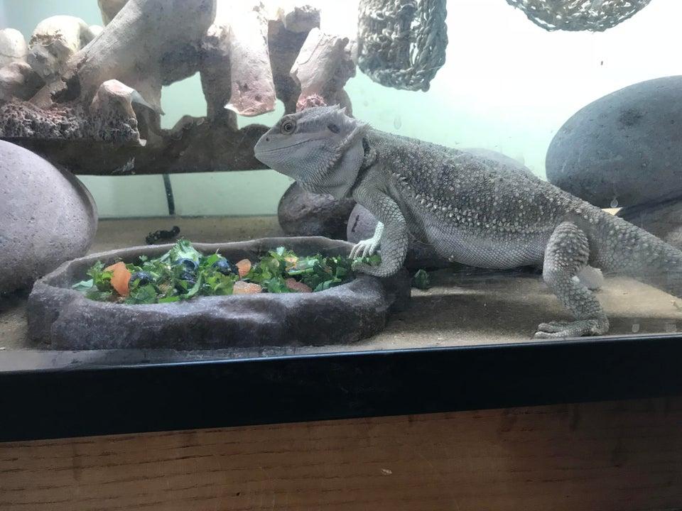 adult-bearded-dragon-eating-celery