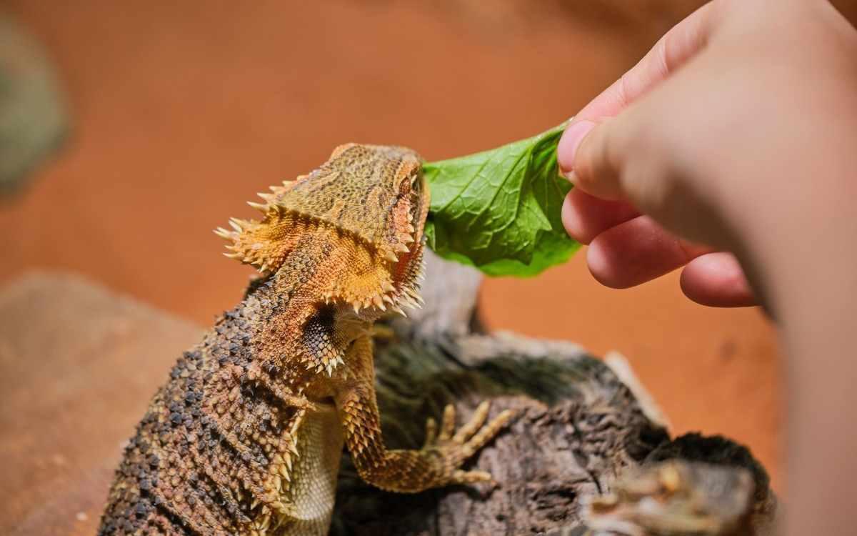 bearded-dragon-eating-vegetable
