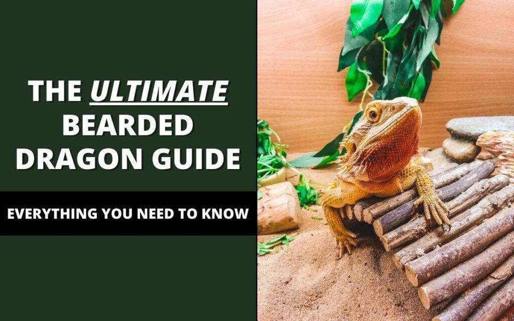 bearded-dragon-care-guide-banner
