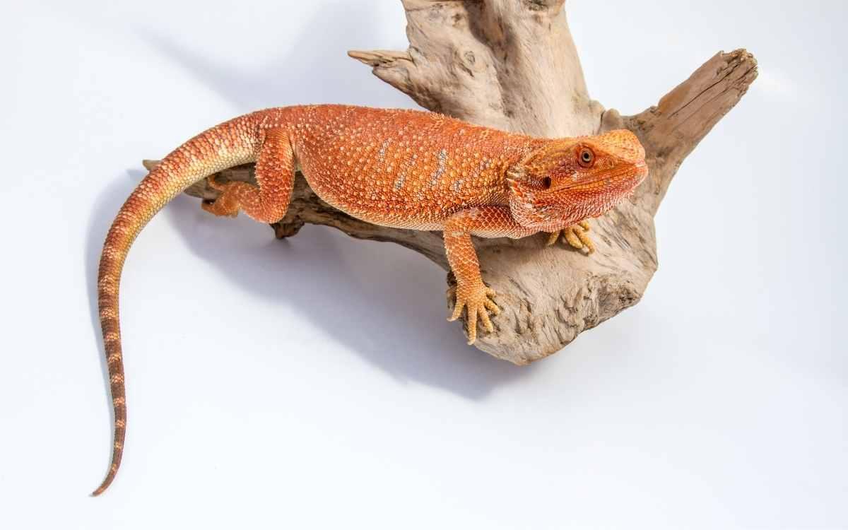 bearded-dragon-morph-tangerine