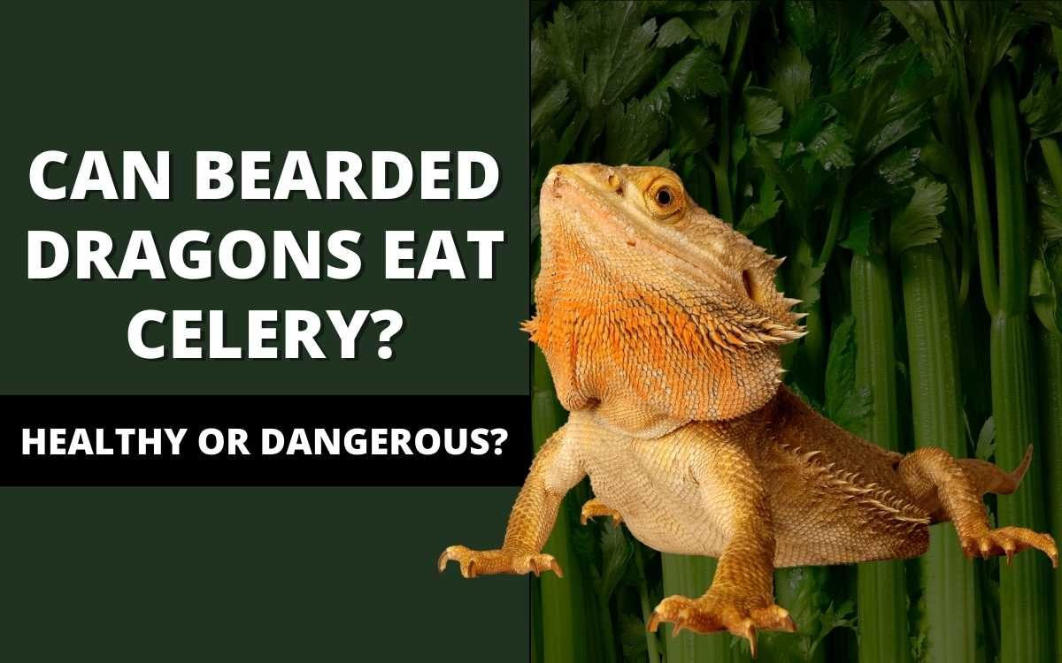 can-bearded-dragons-eat-celery-banner