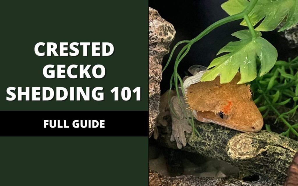 crested-gecko-shedding-banner