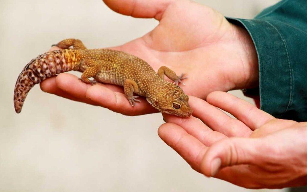 handling-a-leopard-gecko