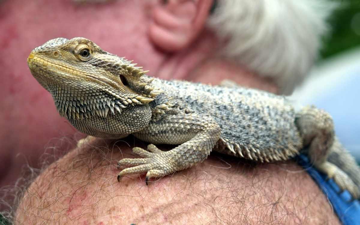 handling-bearded-dragon