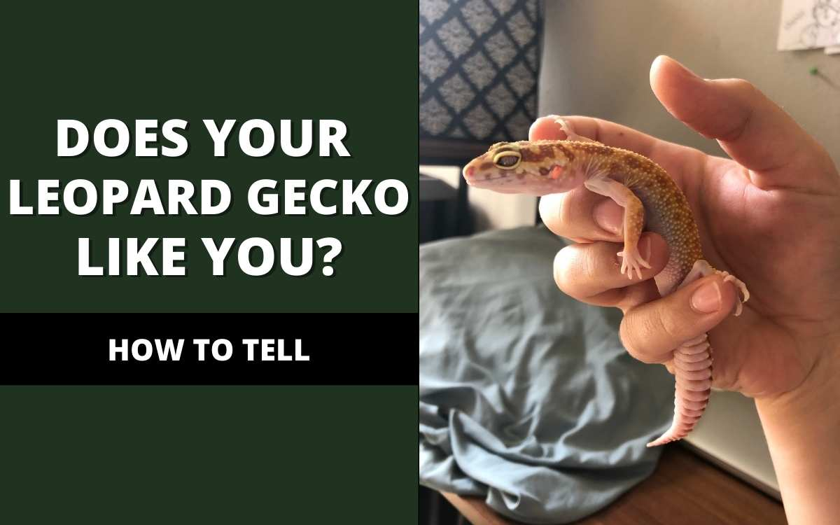 how-to-tell-if-your-leopard-gecko-likes-you