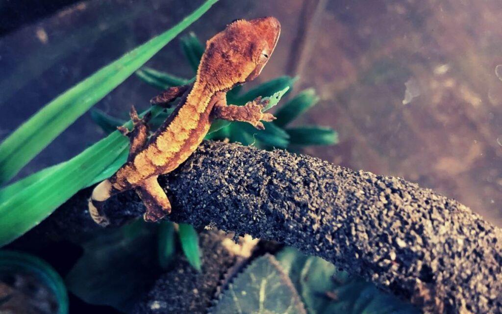juvenile-crested-gecko-hanging-on-vine