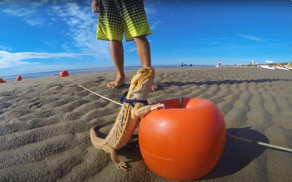 bearded-dragon-at-the-beach-on-ball