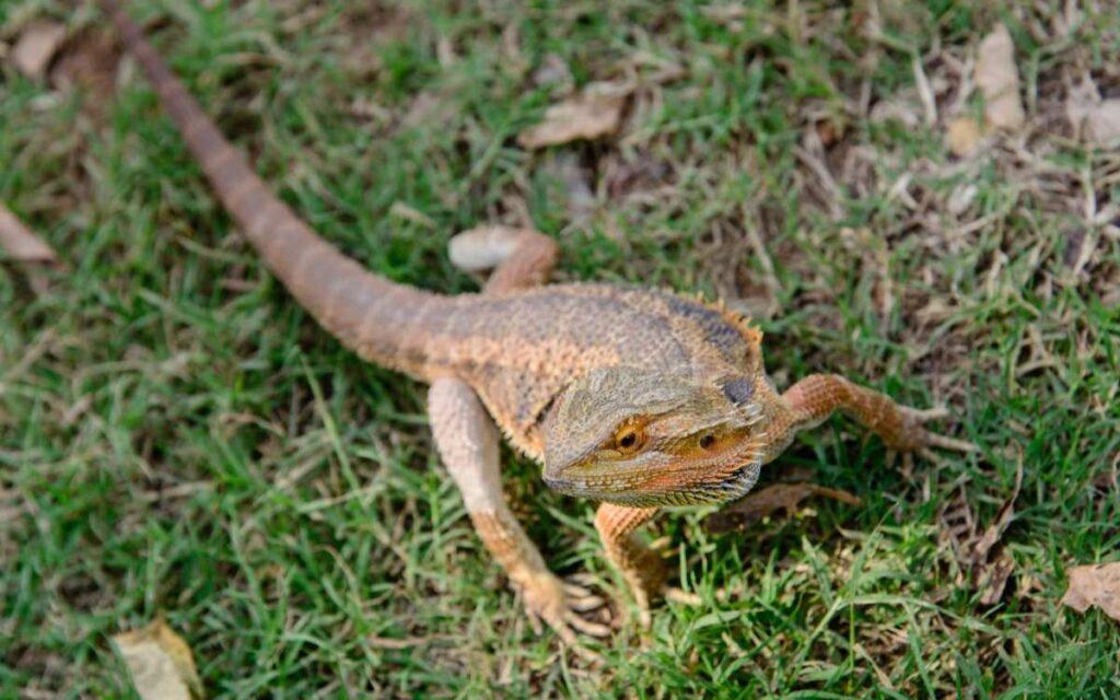 bearded-dragon-basking-outside-in-grass