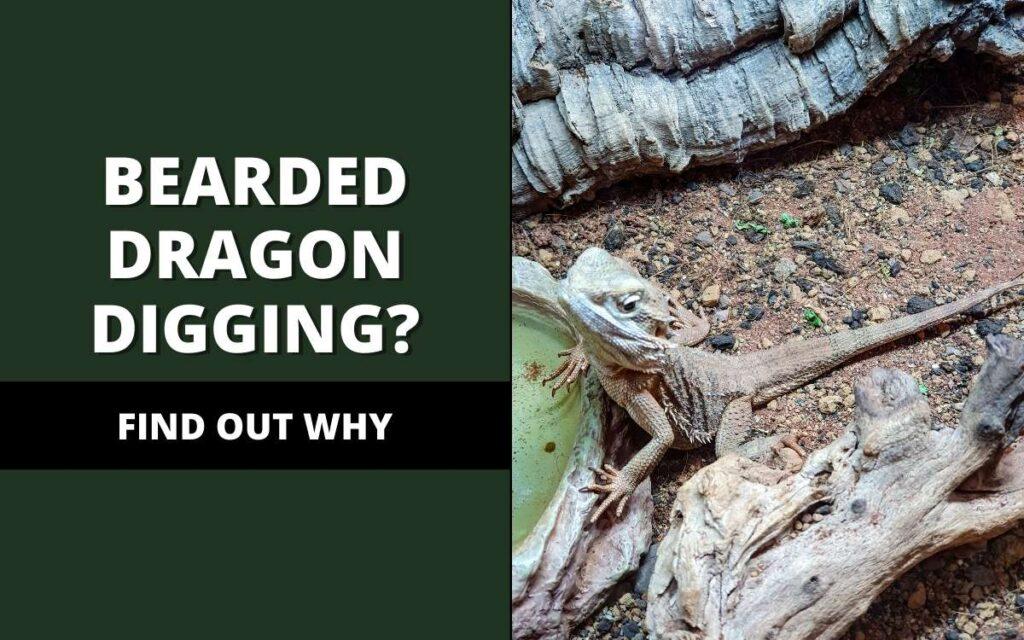 bearded dragon digging