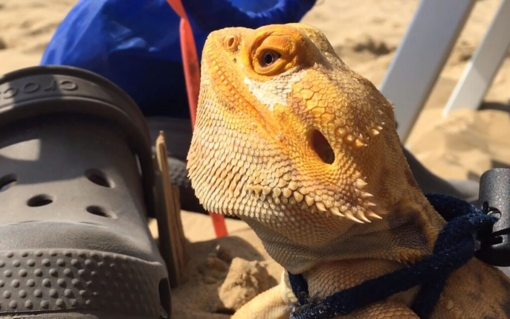bearded-dragon-wearing-leash-at-beach