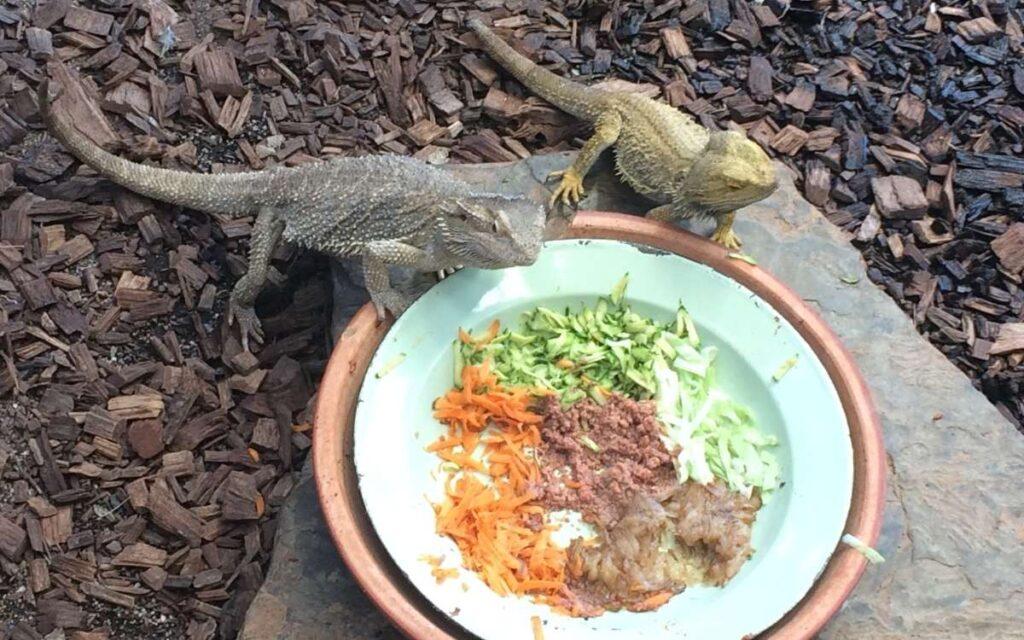 bearded-dragons-eating