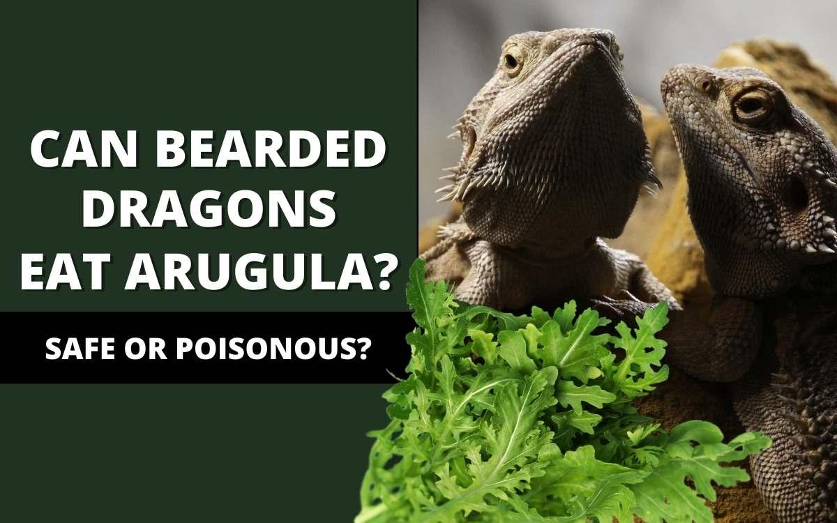 can bearded dragons eat arugula