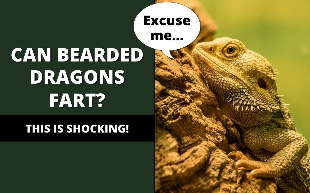 bearded dragons fart