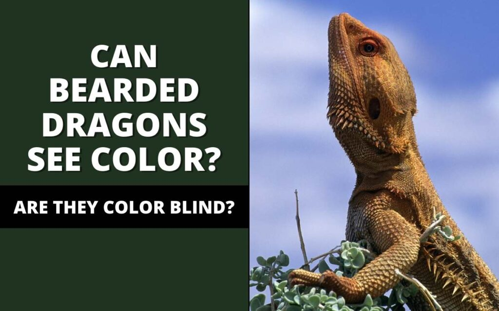 can bearded dragons see color