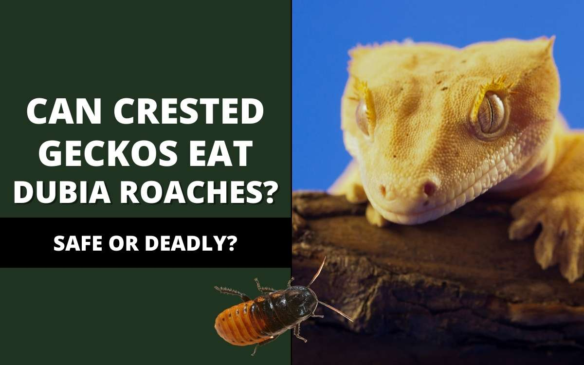 can crested geckos eat dubia roaches
