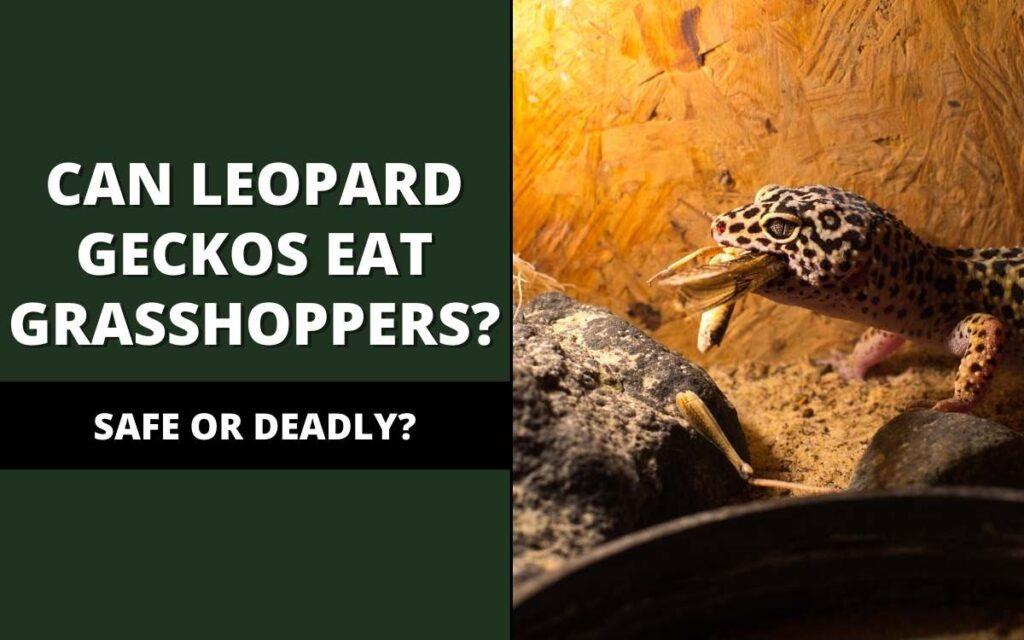 can-leopard-geckos-eat-grasshoppers-banner