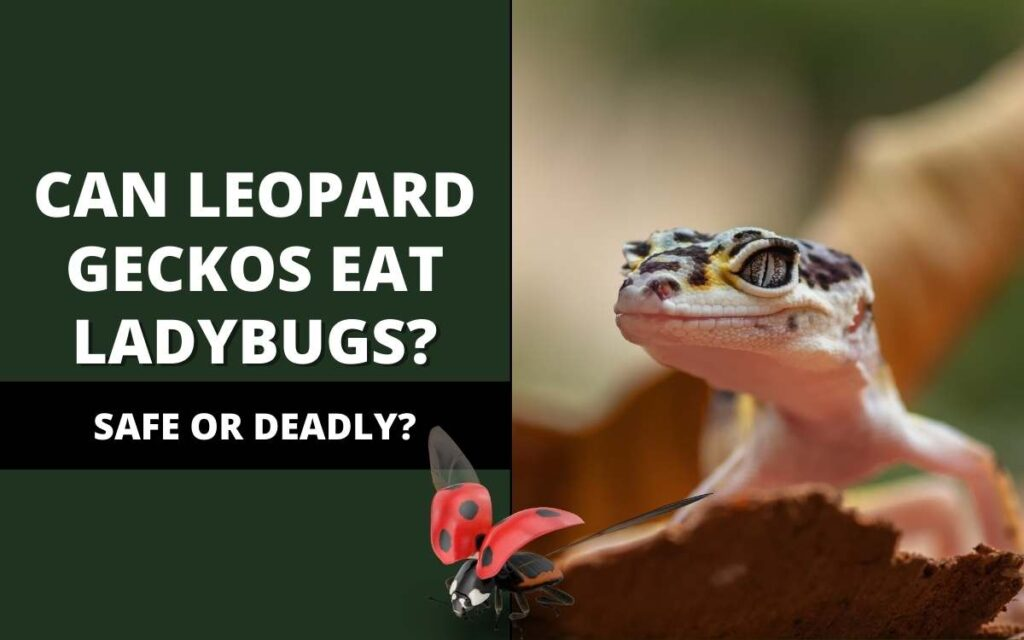 can leopard geckos eat ladybugs