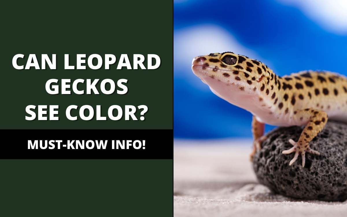 can leopard geckos see color