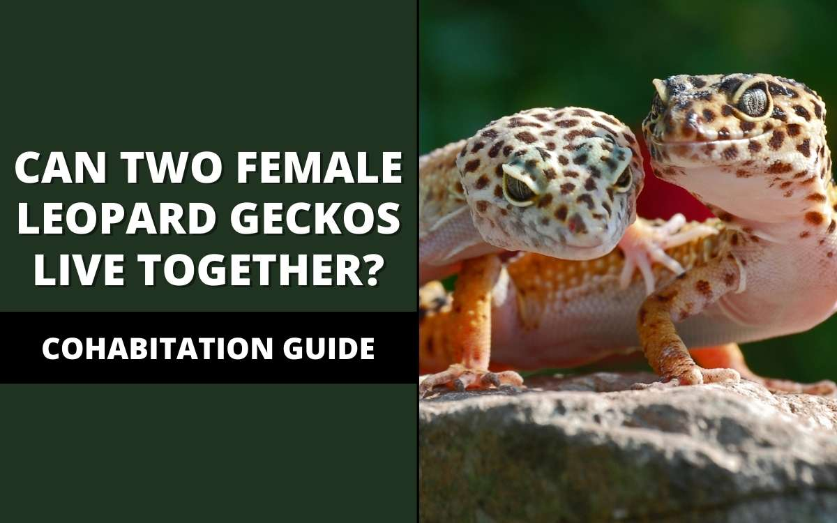can two female leopard geckos live together