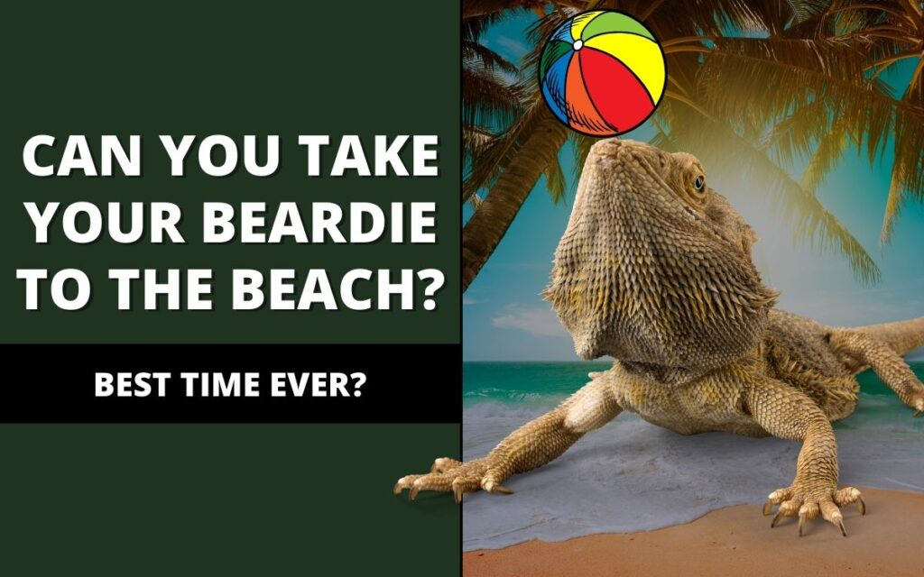 can-you-take-a-bearded-dragon-to-the-beach-banner