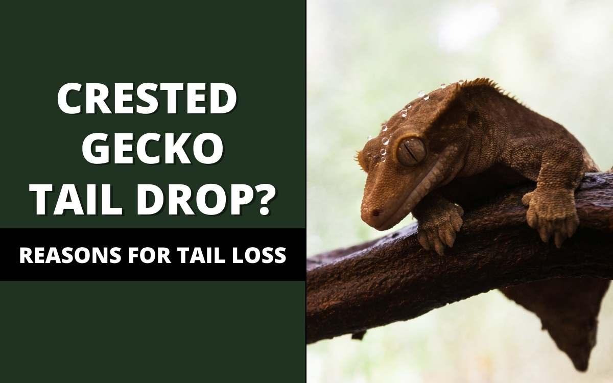 crested gecko tail drop