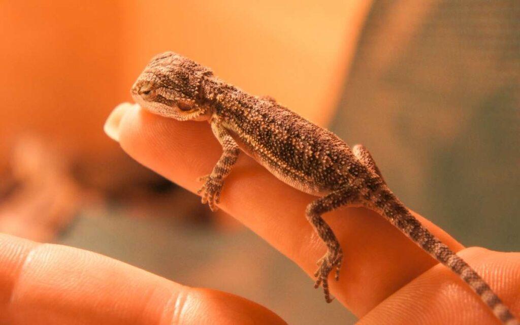handling-baby-bearded-dragon-on-finger