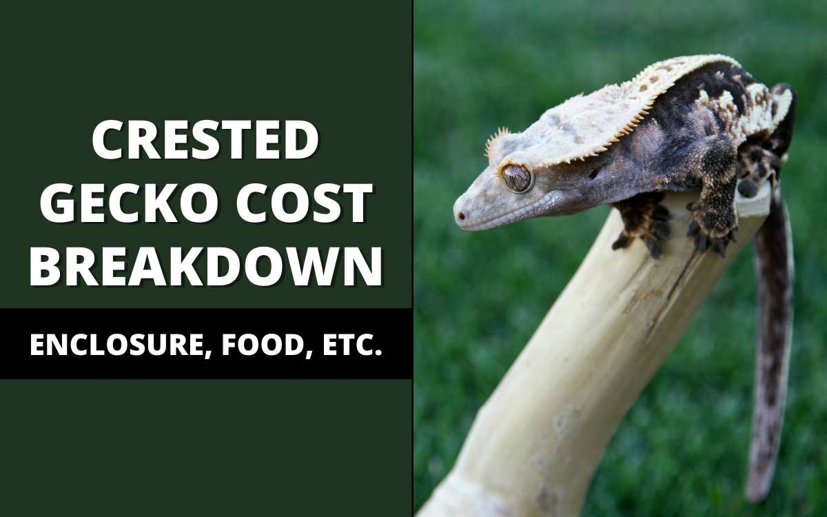 cost of owning a crested gecko