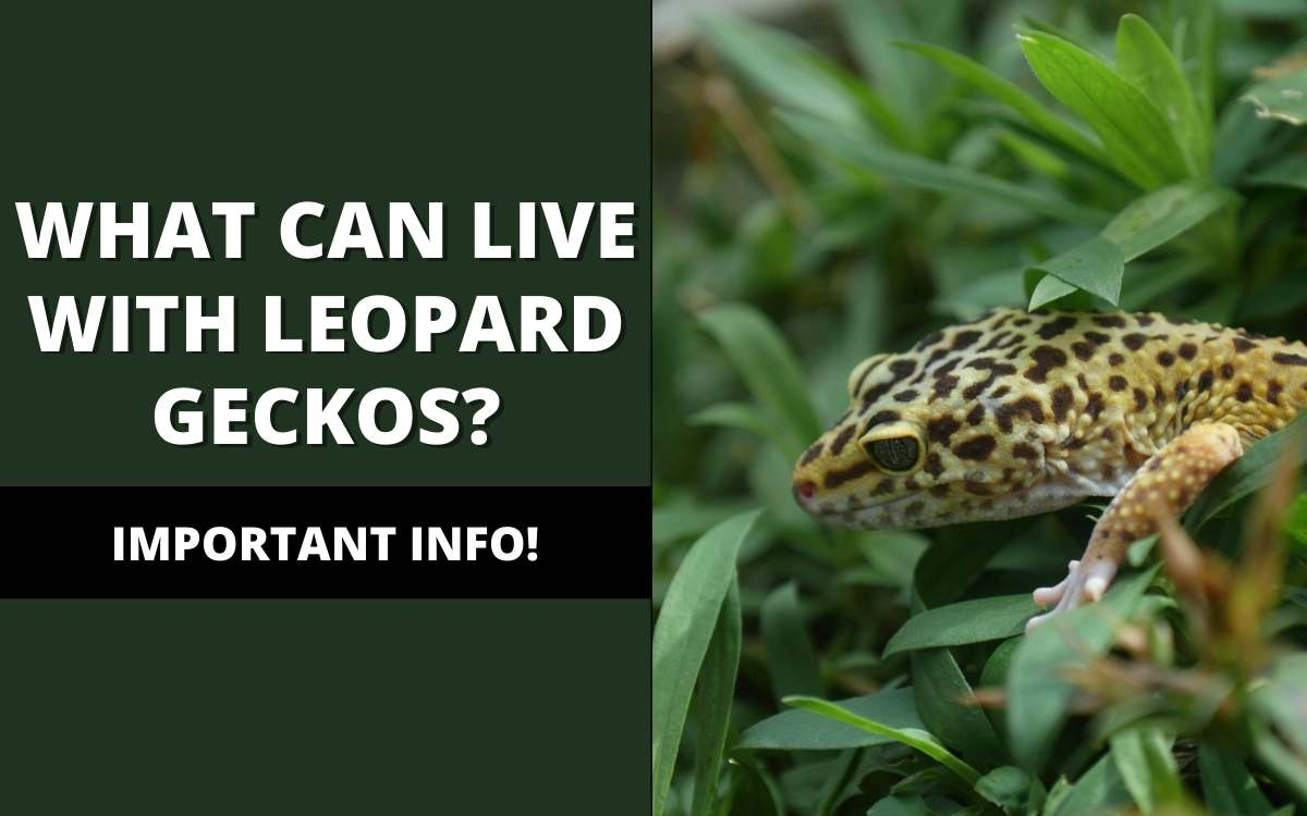 reptiles live with a leopard gecko