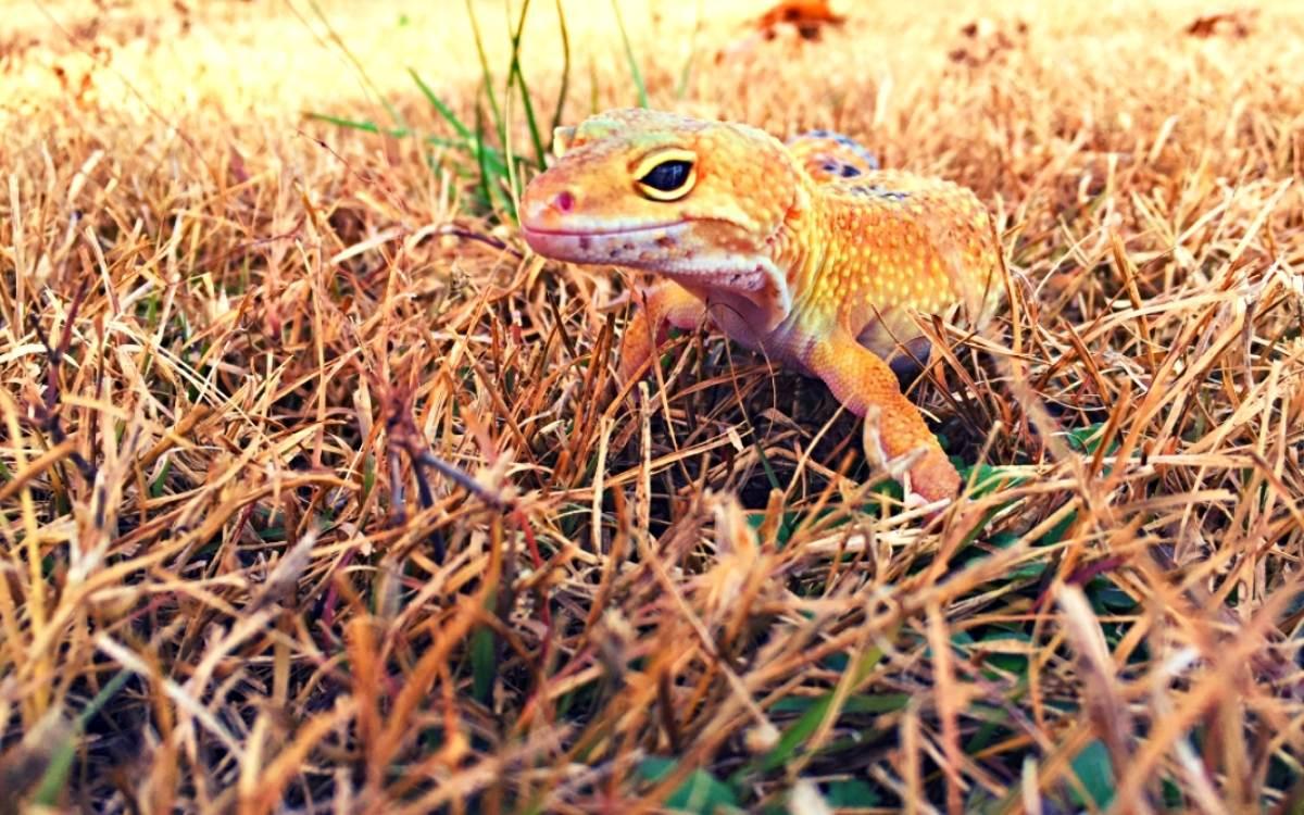leopard-gecko-in-the-wild