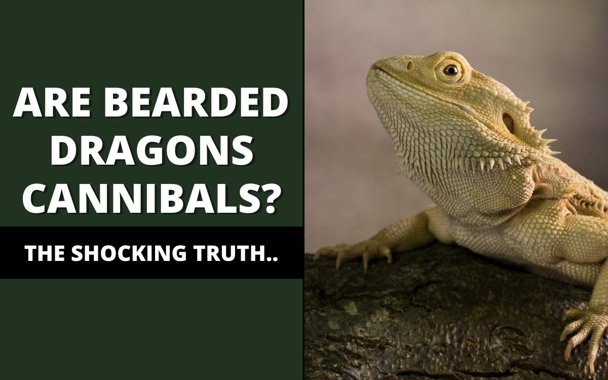 are bearded dragons cannibals