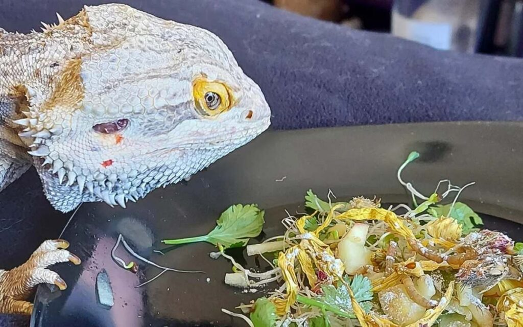 bearded-dragon-eating-arugula